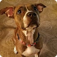 Adopt A Pet :: Bella - Parsippany, NJ