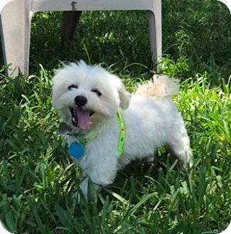 Maltese Dog for adoption in Davie, Florida - Nash