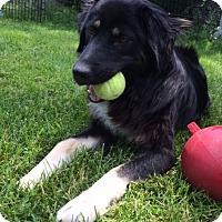 Adopt A Pet :: Murphy-adoption pending - Ada, MN