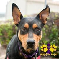 Adopt A Pet :: Harley - Georgetown, TX