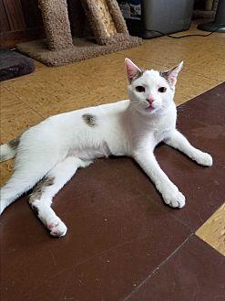 Domestic Shorthair Kitten for adoption in Bronx, New York - Moonlight