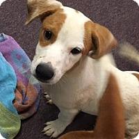 Adopt A Pet :: Winston - Fairfax Station, VA