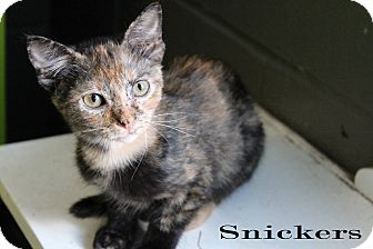 Domestic Shorthair Cat for adoption in Texarkana, Arkansas - Snickers