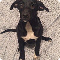 Labrador Retriever/Collie Mix Puppy for adoption in Kittery, Maine - Giselle