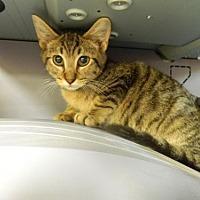 Adopt A Pet :: Cubby - Randleman, NC