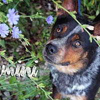 Adopt A Pet :: Gemini - Joliet, IL