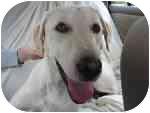 Labrador Retriever Dog for adoption in Bridgewater, Connecticut - Gracie :o)