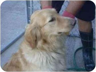 Golden Retriever Mix Dog for adoption in Aledo, Illinois - Bekky