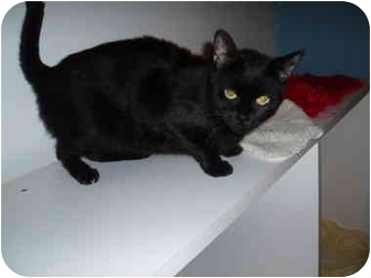 Domestic Shorthair Cat for adoption in Hamburg, New York - Felice