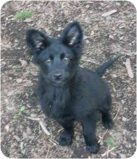 Retriever (Unknown Type)/Australian Cattle Dog Mix Puppy for adoption in south plainfield, New Jersey - Zula, adopted!