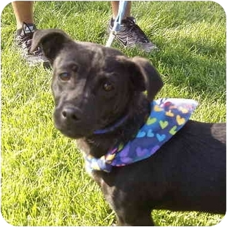 Dachshund Mix Puppy for adoption in Patterson, California - CRICKET