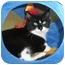 Photo 1 - Domestic Shorthair Kitten for adoption in Medford, Massachusetts - Safari