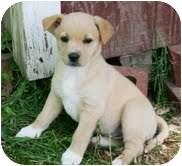 Labrador Retriever/Shepherd (Unknown Type) Mix Puppy for adoption in Foster, Rhode Island - Tiny Rose