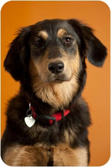 Golden Retriever/German Shepherd Dog Mix Dog for adoption in Portland, Oregon - Xena
