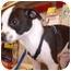 Photo 2 - Chihuahua/Boston Terrier Mix Puppy for adoption in Umatilla, Florida - Trevor