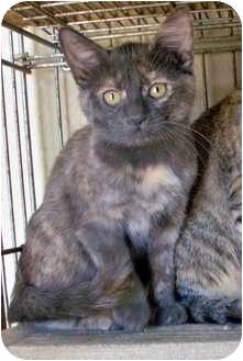 Domestic Shorthair Kitten for adoption in Sullivan, Missouri - Meg