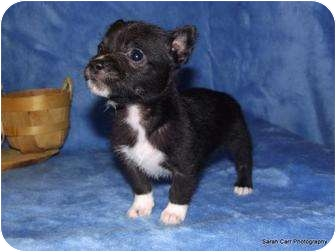 Terrier (Unknown Type, Small) Mix Puppy for adoption in Cranford, New Jersey - Twinkle