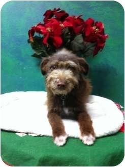 Border Terrier Mix Puppy for adoption in Goleta, California - Double Luck