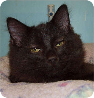 Maine Coon Kitten for adoption in Lakeland, Florida - Banshee