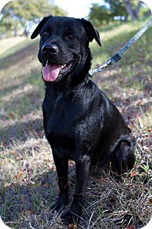 Labrador Retriever Mix Puppy for adoption in hollywood, Florida - minyi