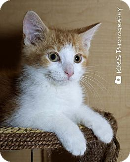 Domestic Shorthair Kitten for adoption in Millersburg, Ohio - Barney