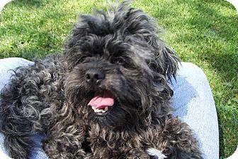 Shih Tzu Mix Dog for adoption in Lake Odessa, Michigan - Jester