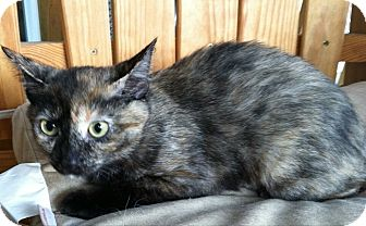 Domestic Shorthair Cat for adoption in Port Republic, Maryland - Shelly