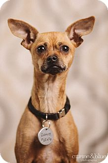 Miniature Pinscher/Chihuahua Mix Dog for adoption in Portland, Oregon - Mya