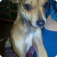 Adopt A Pet :: Darcy - North Little Rock, AR
