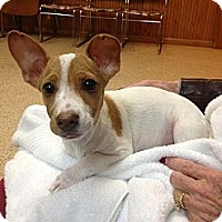 Adopt A Pet :: Duckie - Stilwell, OK