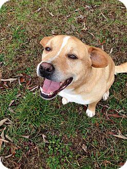 Labrador Retriever/Labrador Retriever Mix Dog for adoption in Manhasset, New York - Corey