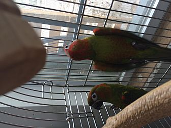Conure for adoption in Punta Gorda, Florida - Java & Jazzy