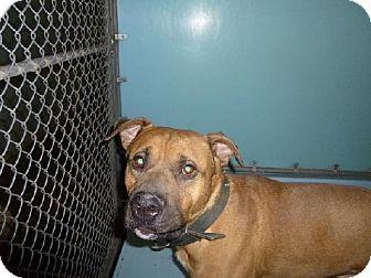 Bullmastiff/Boxer Mix Dog for adoption in Napoleon, Ohio - BRUTUS