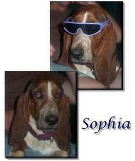 Basset Hound Dog for adoption in Marietta, Georgia - Sophia