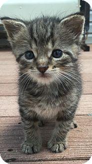 Domestic Shorthair Kitten for adoption in Trevose, Pennsylvania - Champ