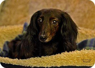 Dachshund Dog for adoption in Toronto, Ontario - Shesa