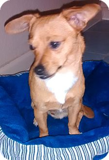 Chihuahua Mix Dog for adoption in Woodland, California - Big Boy