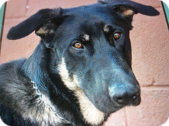 German Shepherd Dog Puppy for adoption in Los Angeles, California - SHADOW VON SELIG