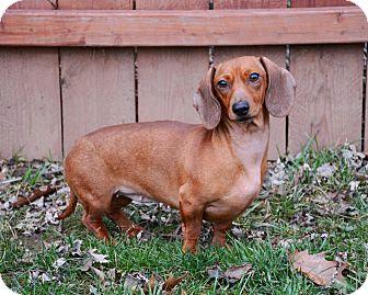 Dachshund Mix Dog for adoption in Cincinnati, Ohio - Roxie