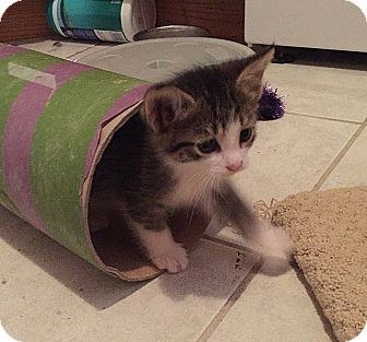 Domestic Shorthair Kitten for adoption in Tampa, Florida - Lance