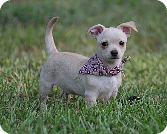 Chihuahua/Dachshund Mix Puppy for adoption in Seattle, Washington - Carter