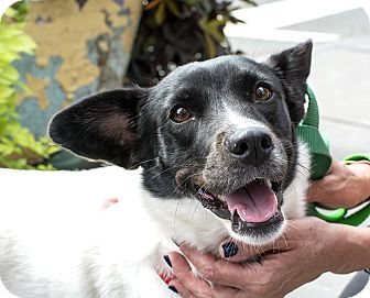 Terrier (Unknown Type, Small)/Corgi Mix Dog for adoption in Jersey City, New Jersey - Leslie Jones