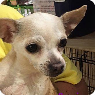 Chihuahua Dog for adoption in Durham, North Carolina - Precious