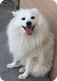 American Eskimo Dog Dog for adoption in The Dalles, Oregon - Kuma
