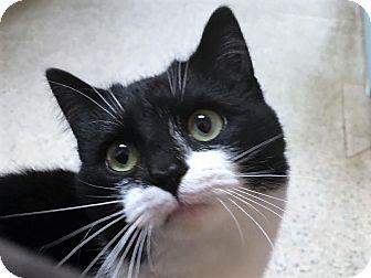 Domestic Shorthair Cat for adoption in North Wilkesboro, North Carolina - Misha