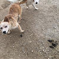 Adopt A Pet :: Foxy - Parker, KS