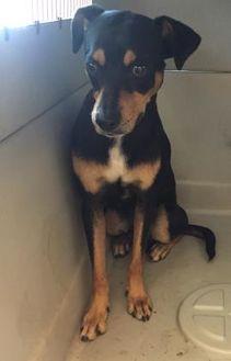 Doberman Pinscher Mix Dog for adoption in St. Thomas, Virgin Islands - NACHO