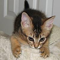 Adopt A Pet :: Drew - Davis, CA