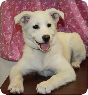 German Shepherd Dog/Shepherd (Unknown Type) Mix Puppy for adoption in Broomfield, Colorado - Galaxy