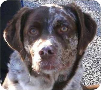 Australian Shepherd/Labrador Retriever Mix Dog for adoption in Toronto/Etobicoke/GTA, Ontario - DukePENDING